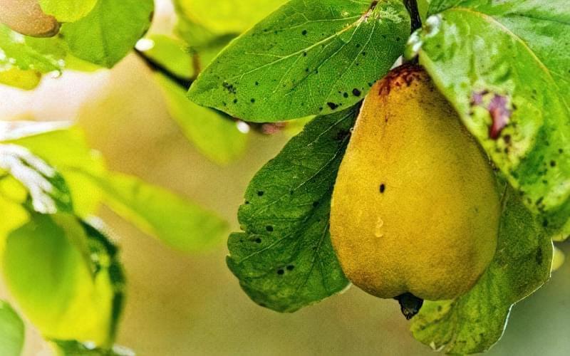 Посухостійкість – одна з сильних сторін груш