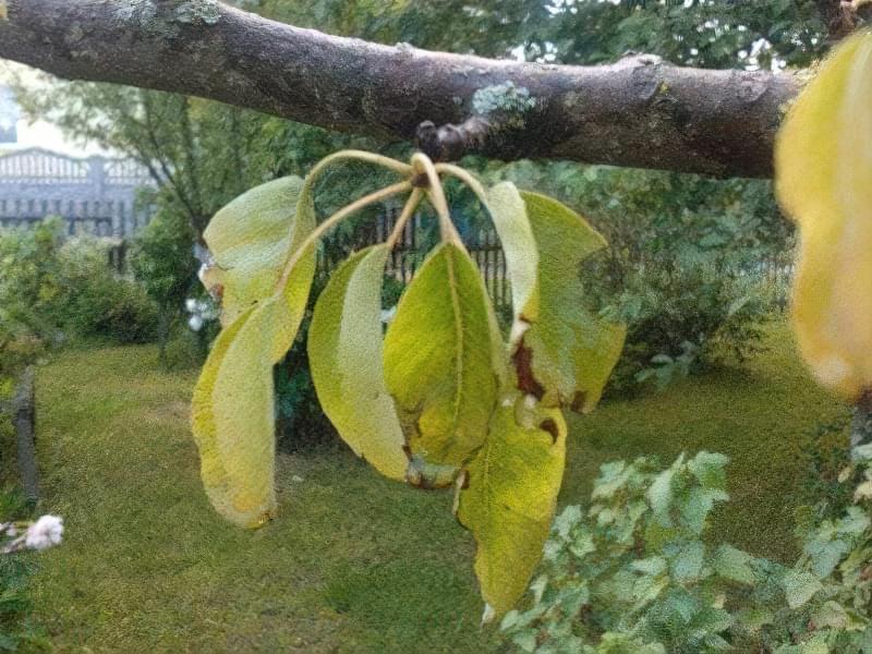 Якщо у груші жовтіють листя-дерево подає сигнал лиха