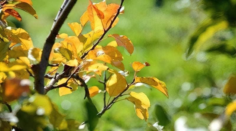 Що робити і чому жовтіє листя груші 1