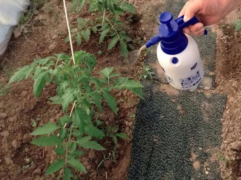 Сіль від фітофтори томатів: дешевий, але ефективний засіб 1