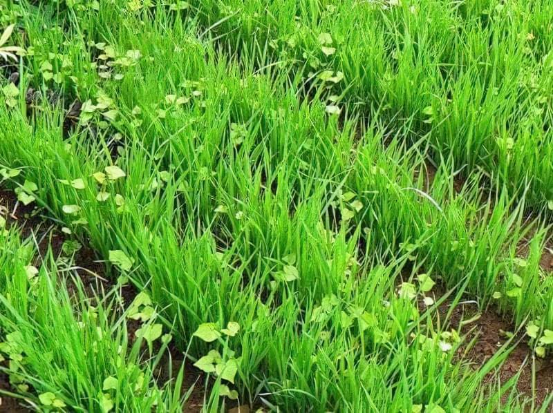 Сіємо петрушку на зиму і отримуємо ранній урожай зелені 2