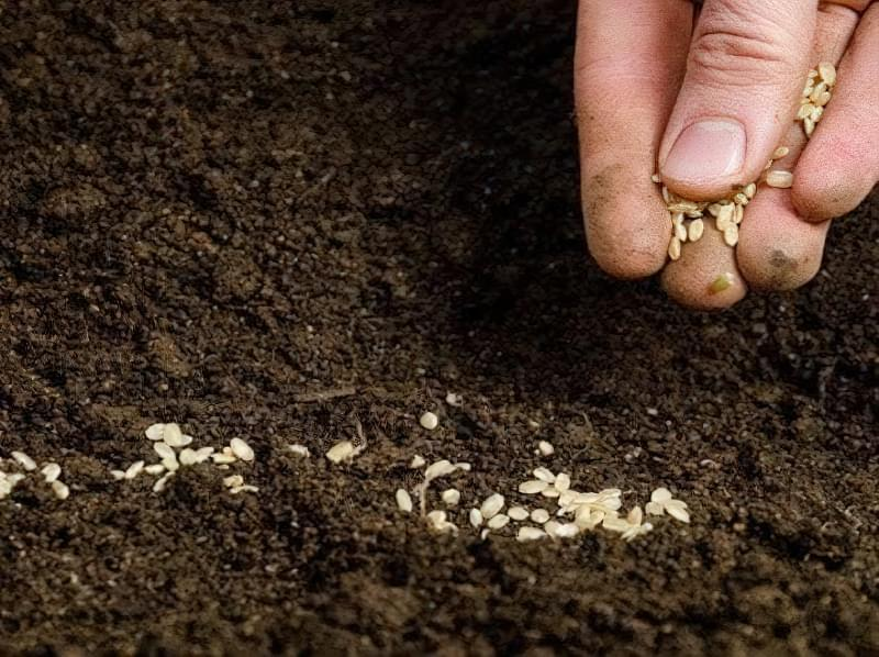Сіємо петрушку на зиму і отримуємо ранній урожай зелені 6