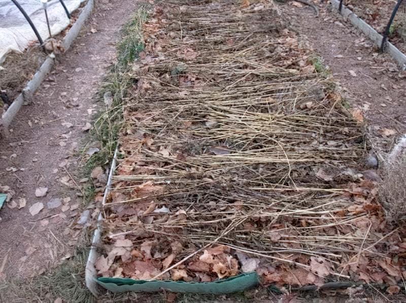 Сіємо петрушку на зиму і отримуємо ранній урожай зелені 7