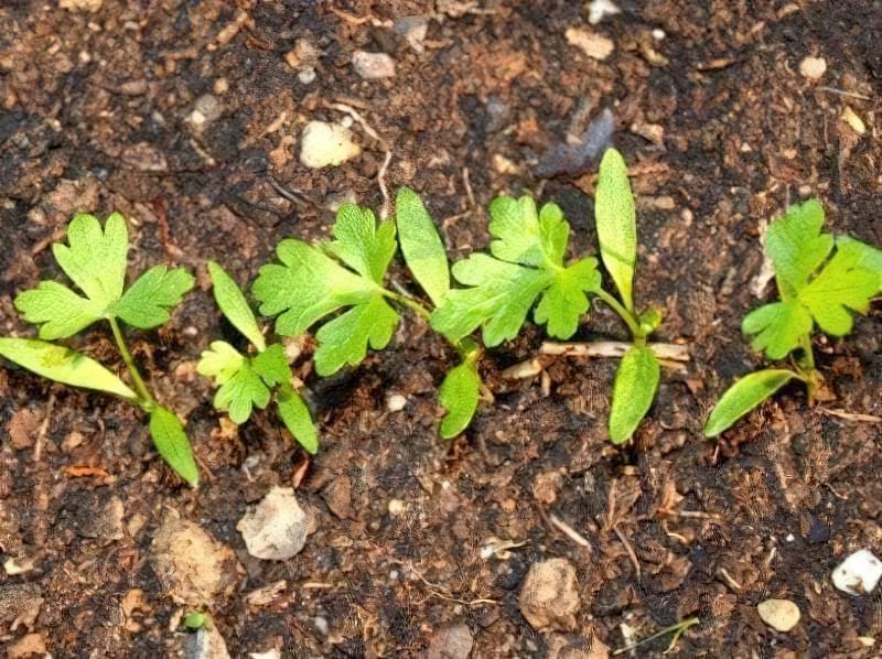 Сіємо петрушку на зиму і отримуємо ранній урожай зелені 1