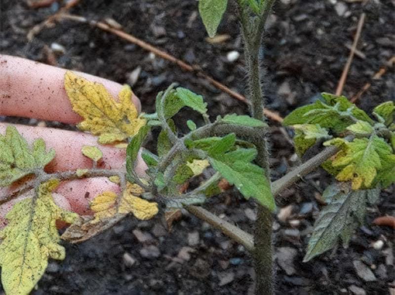 Підживлення помідорів кальцієвою селітрою 4