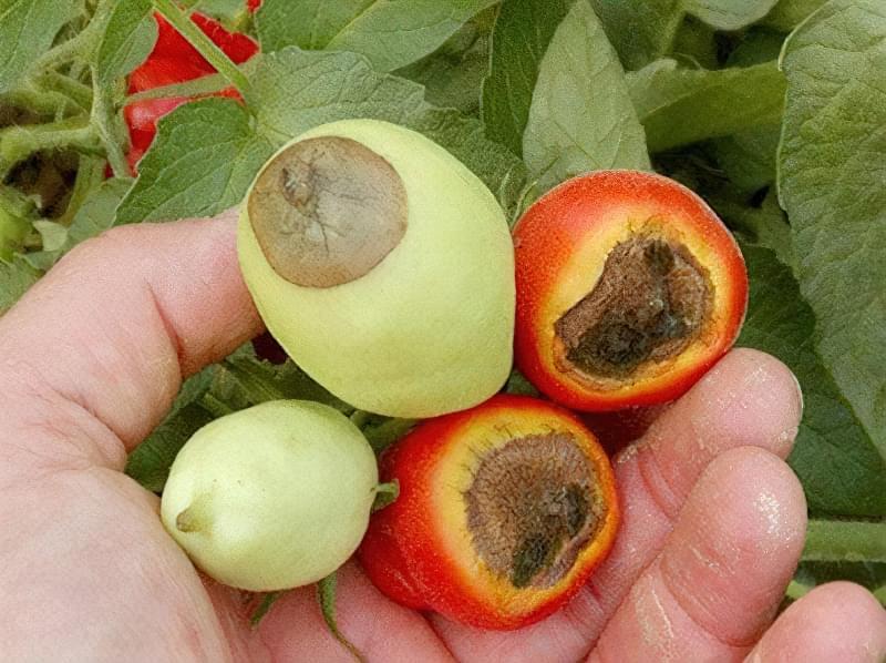 Підживлення помідорів кальцієвою селітрою 5