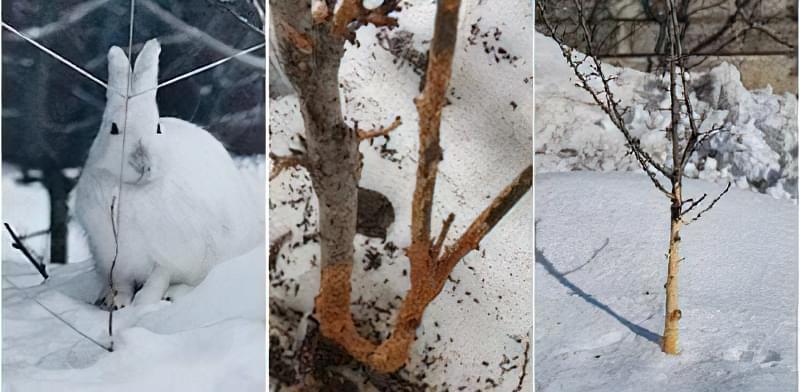 Як захистити плодові дерева від мишей і зайців взимку 1
