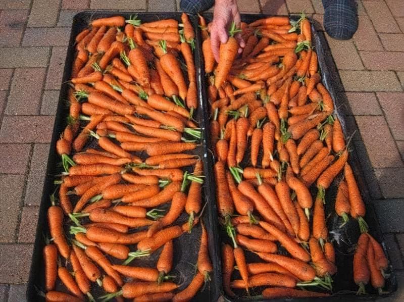 Як зберегти моркву в погребі до наступного врожаю 2