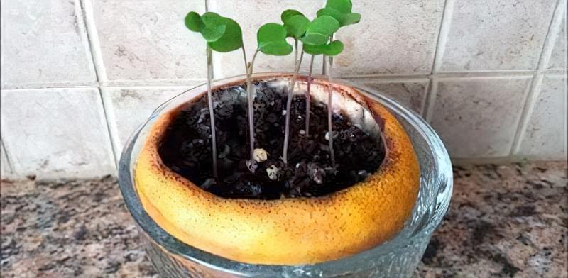 Вирощування розсади в апельсиновій кірці
