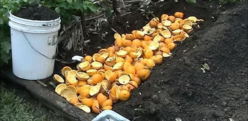 Застосування апельсинових кірок в городі і в саду 35