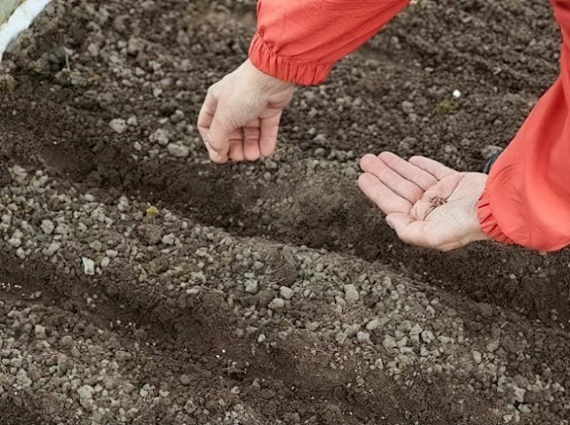 Посадка насіння буряка в грунт