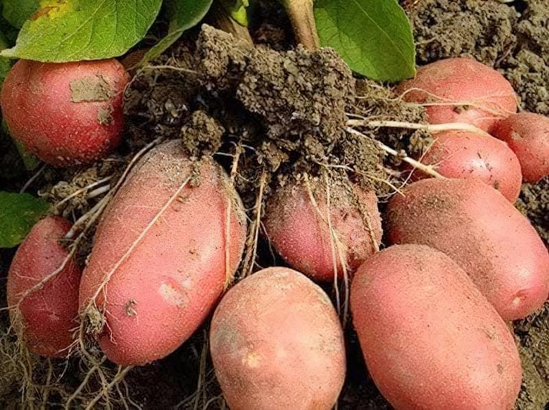 Картопля в мішку: незвичайний спосіб вирощування, у якого є свої переваги 3