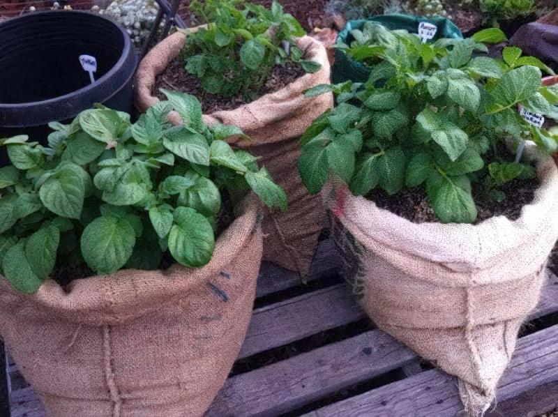 Картопля в мішку: незвичайний спосіб вирощування, у якого є свої переваги 4