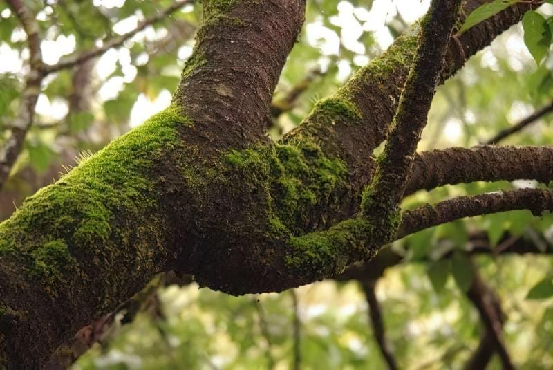 Мох на деревах - користь, шкода, методи профілактики та боротьби 3