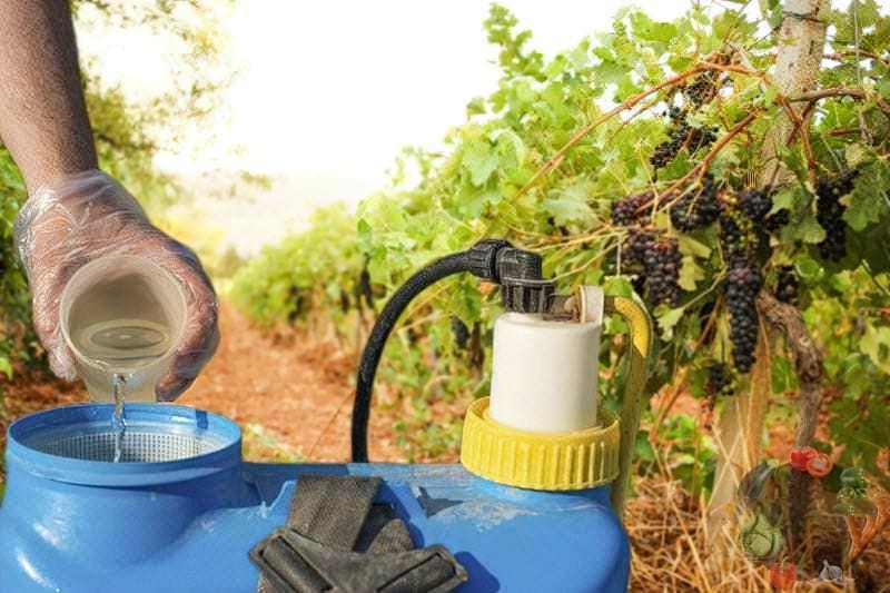 Обробка винограду восени проти хвороб і шкідників – як ефективно захистити лозу 1