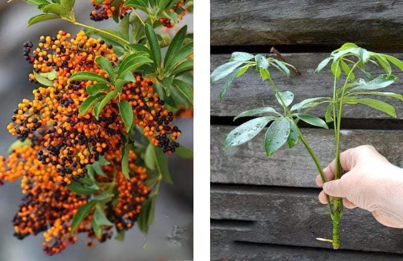 Шефлера – квітка, фото, рекомендації, відгуки 4