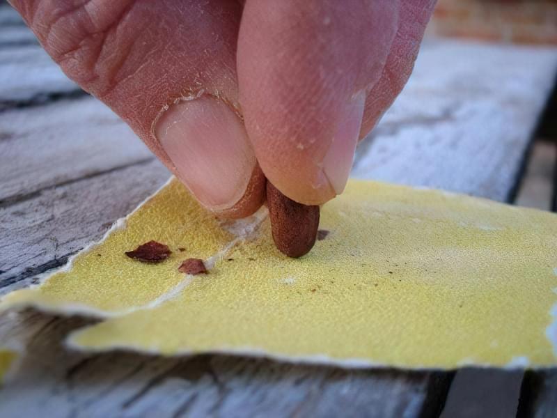 Скарифікація насіння — спосіб прискорити проростання, як проводити 3