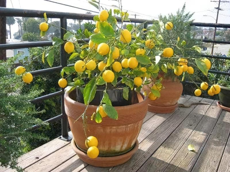 Вирощування лимона з кісточки в домашніх умовах 2