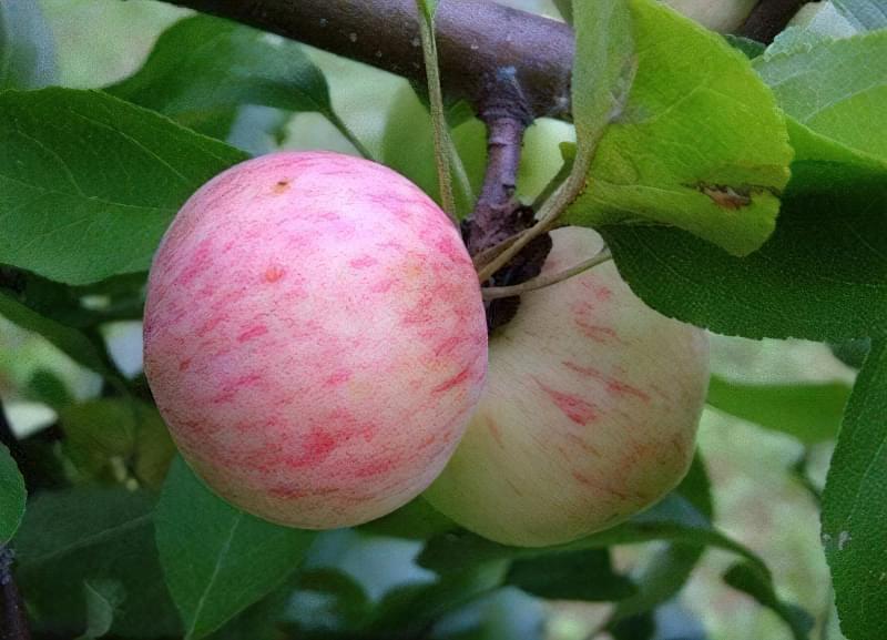 Як підготувати грунт і правильно виростити дерево яблуні 2