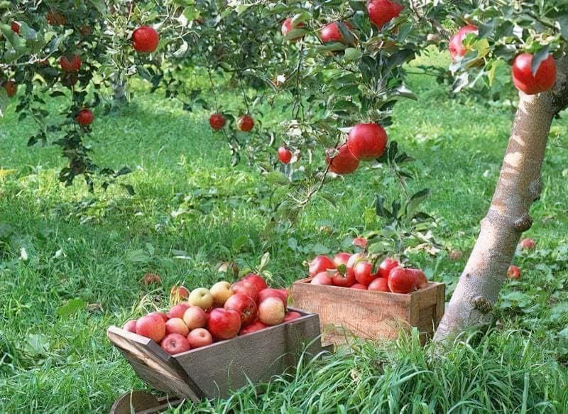 Як підготувати грунт і правильно виростити дерево яблуні 1