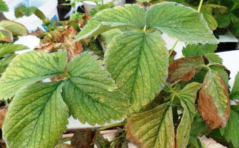 Псування листя на фото
