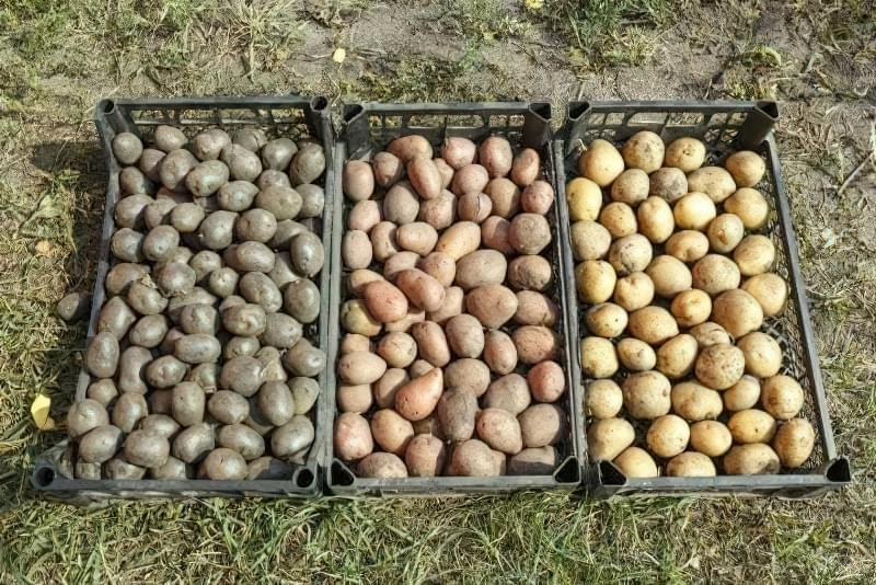 Чому гниє картопля при зберіганні, і як цього уникнути? 4