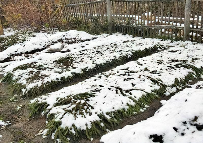 Чим небезпечний сніг для городу і як врятувати рослини 1