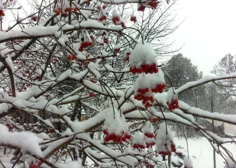 Накопичення снігу і льоду на гілках загрожує наслідками