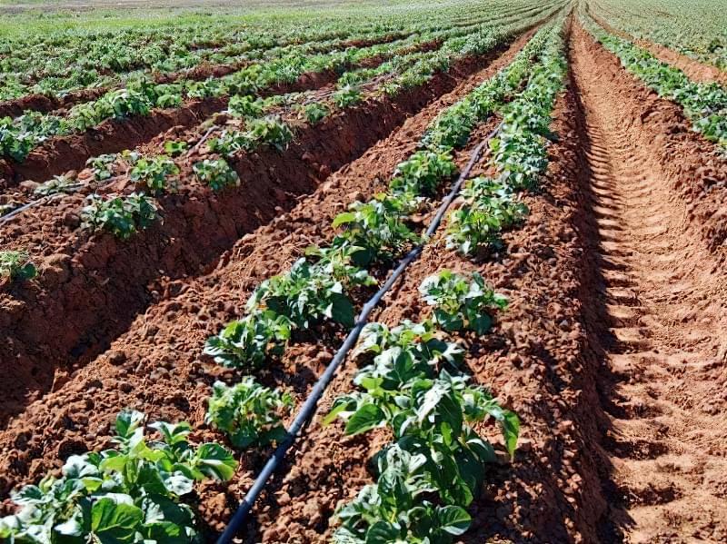 Голландський метод (по Мітлайдеру) вирощування картоплі