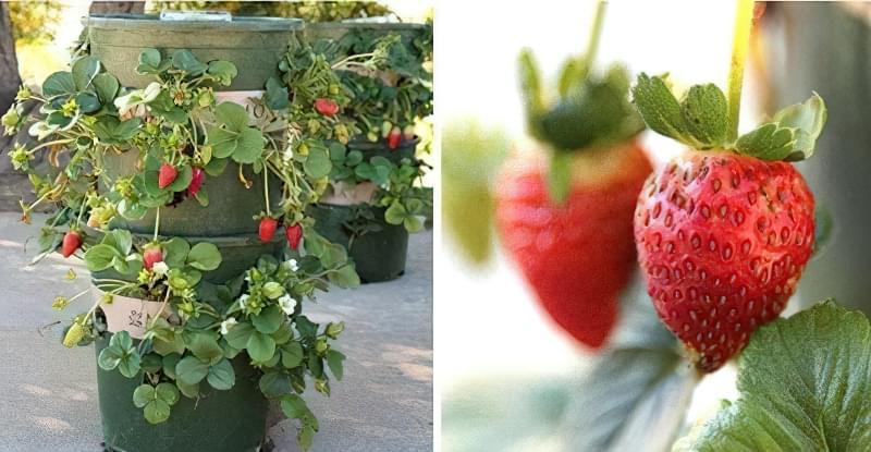 Методи вирощування полуниці на вертикальних грядках 2