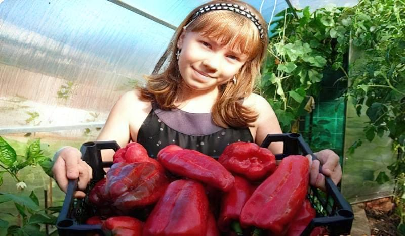 урожай болгарського перцю какаду