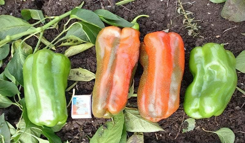 Перець Какаду - високопродуктивний солодкий сорт 1