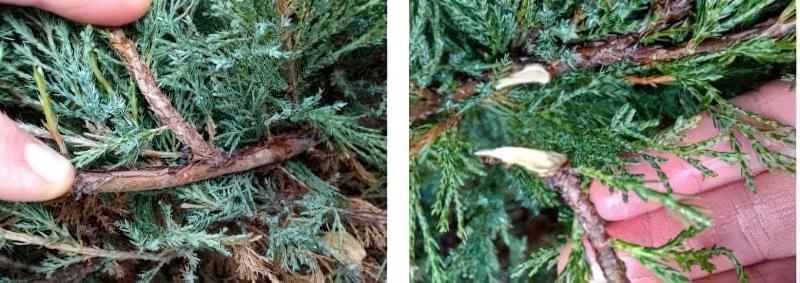Розмноження хвойних рослин живцями взимку — це просто 2