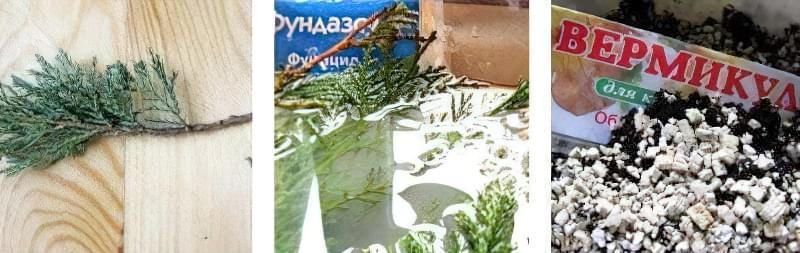Розмноження хвойних рослин живцями взимку — це просто 3