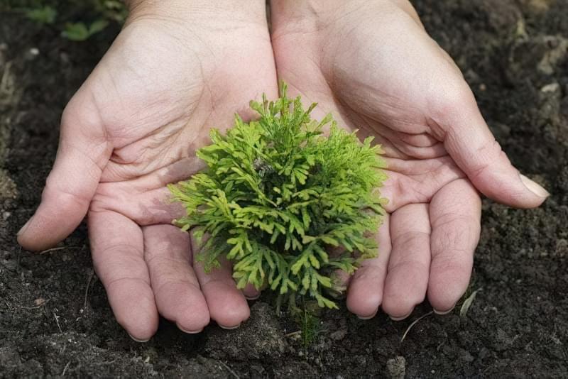 Розмноження хвойних рослин живцями взимку — це просто 1