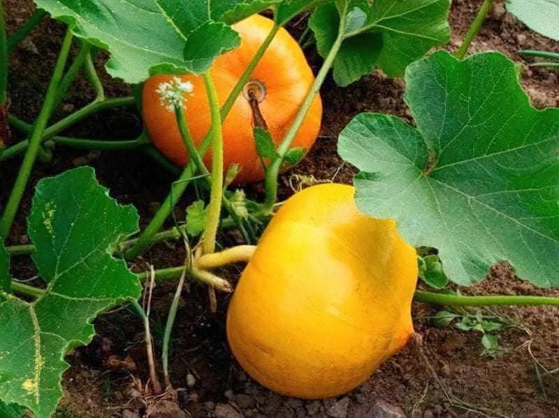 Що посадити після кабачків, щоб не залишитися без врожаю 3