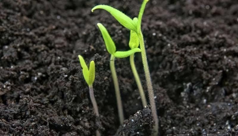 Вирощуємо томати без розсади - сорти, переваги і недоліки методу 4