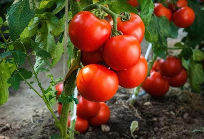 Вирощуємо томати без розсади - сорти, переваги і недоліки методу 1