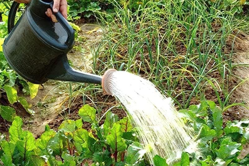 Буряк потрібно регулярно поливати