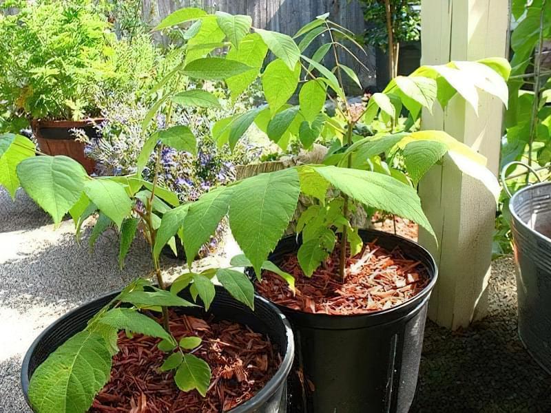 Як проростити волоський горіх: особливості методу 1