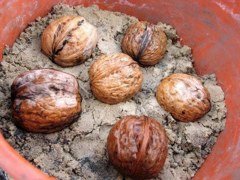 Як виростити волоський горіх з горішка? 2