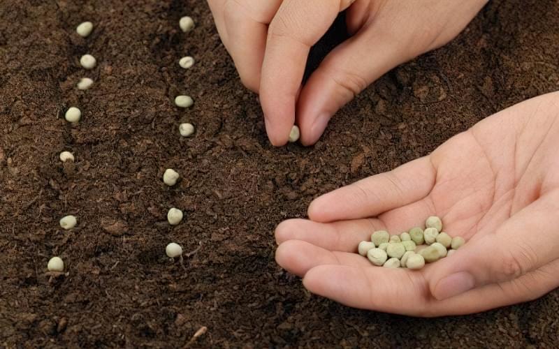 Як визначити схожість насіння? 3