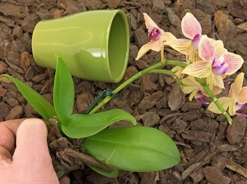 Як змусити орхідею зацвісти? 6 корисних порад 3