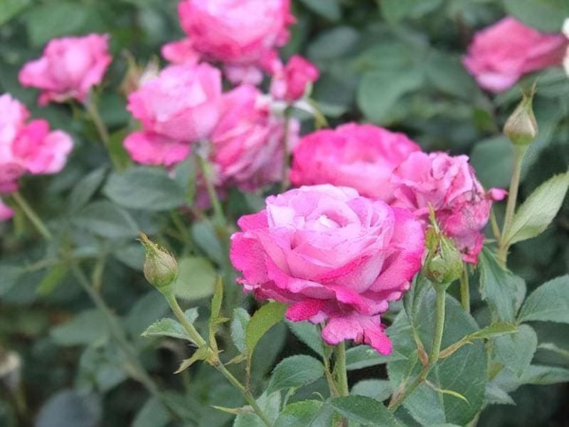 Блакитна троянда на дачній ділянці: втілюємо мрії садівників 11
