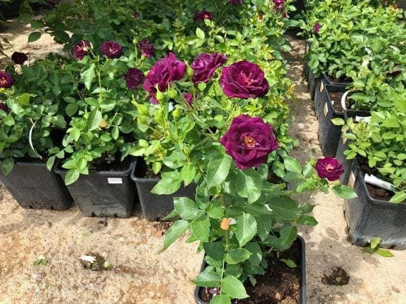 Блакитна троянда на дачній ділянці: втілюємо мрії садівників 12