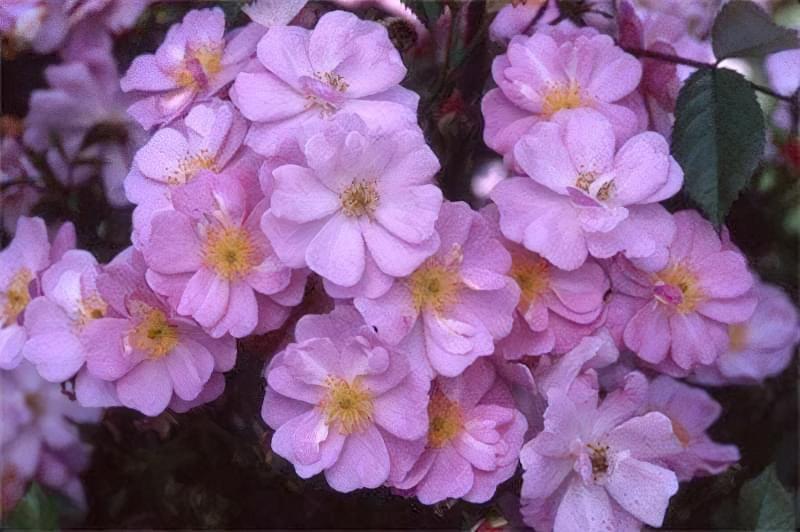 Блакитна троянда на дачній ділянці: втілюємо мрії садівників 3