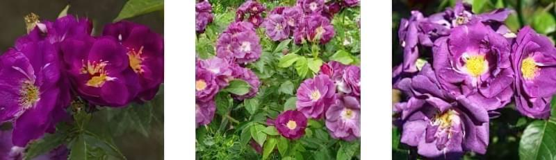Блакитна троянда на дачній ділянці: втілюємо мрії садівників 4