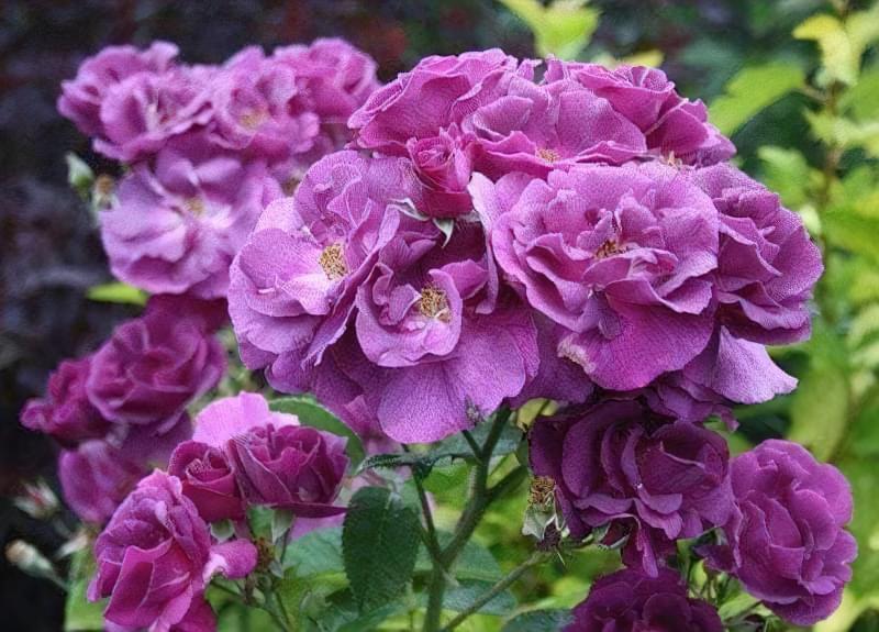 Блакитна троянда на дачній ділянці: втілюємо мрії садівників 5