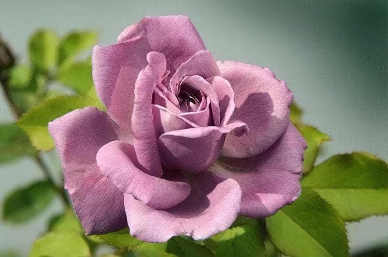 Блакитна троянда на дачній ділянці: втілюємо мрії садівників 6