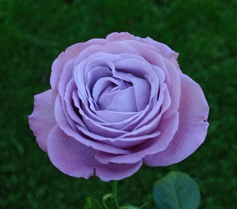 Блакитна троянда на дачній ділянці: втілюємо мрії садівників 7